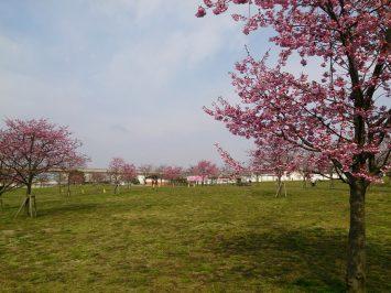 2017/03/29の舎人公園は千本桜まつりの準備中