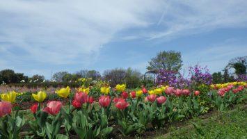 舎人公園駅すぐの花壇には色とりどりのチューリップが満開