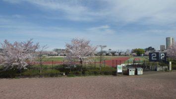 2017/04/12 舎人公園陸上競技場の周りの桜はまだまだ見ごろ