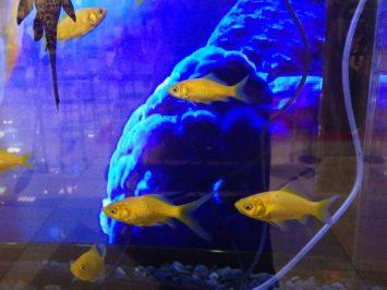 Ario西新井店で見つけた本当の金魚