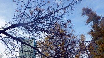 2018/12/12の神田橋に桜咲く2