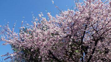 2019/03/13の豊川稲荷の桜