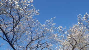2020/01/29神田橋公園の桜開花状況